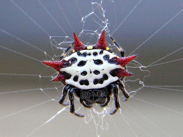 Bugs Ceramic Art - Happy Crab Spider by Becky Jenney