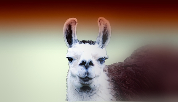 Wall Art Photograph - Happy Llama by Myrna Migala