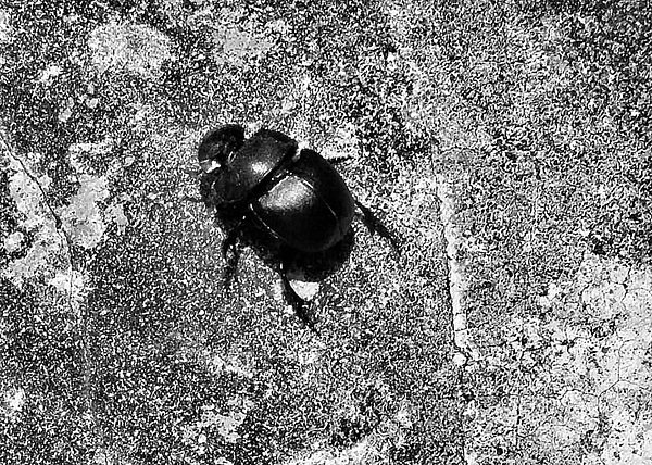 Beetle Photograph - Harsh Life Black White Life Is Dung Beetle Card by Kathy Daxon