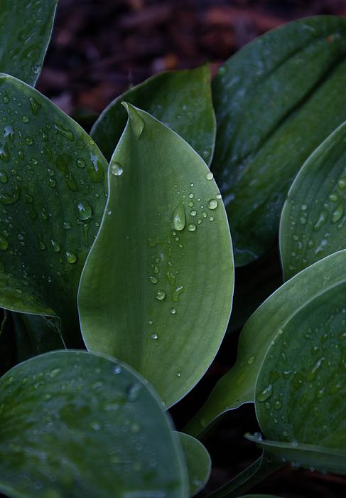 Dew Photograph - Hausta Dew Drops by Douglas Barnett