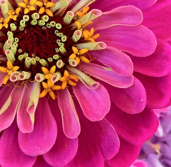 Flowers Photograph - Heart Of The Zinnia by Deborah Bifulco