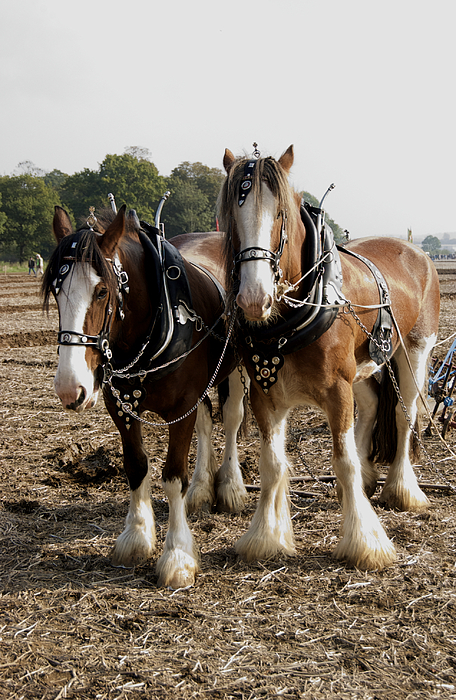 Agriculture Photograph - Heavy Horses by Gerry Walden