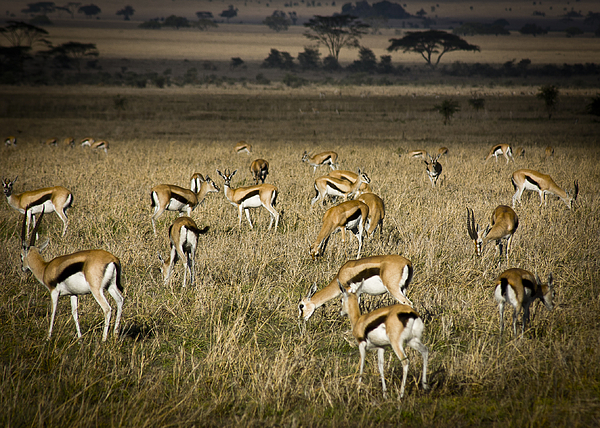 Africa Photograph - Herd Of Antelope by Darcy Michaelchuk