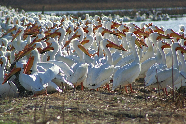Pelicans Photograph - Herd Of Pelicans by Shari Morehead
