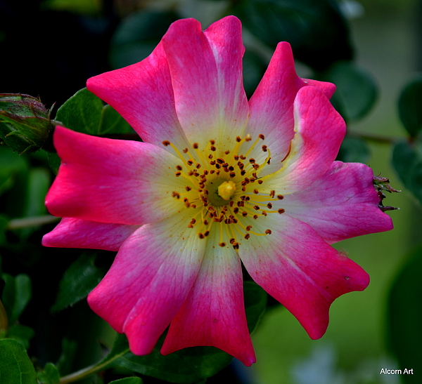 Rose Photograph - Heritage by Brenda Alcorn