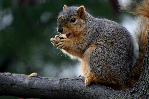 Squirrel Photograph - Hey  The Guy With Peanuts by Martin Morehead