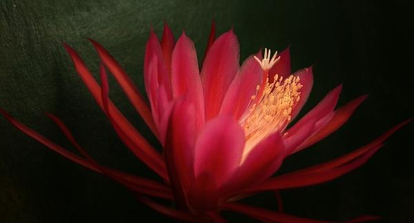Flower Photograph - Hi by Susie DeZarn
