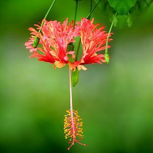 Hibiscus Photograph - Hibiscus Bell by Deborah  DeAmroim