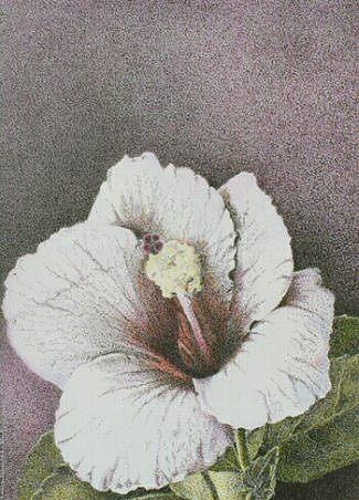 Floral Painting - Hibiscus by Bonnie Haversat