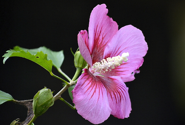 Hibiscus Photograph - Hibiscus  by Fraida Gutovich