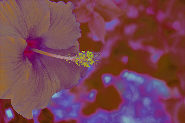 Hibiscus Gllow Photograph by Lucrecia Cuervo