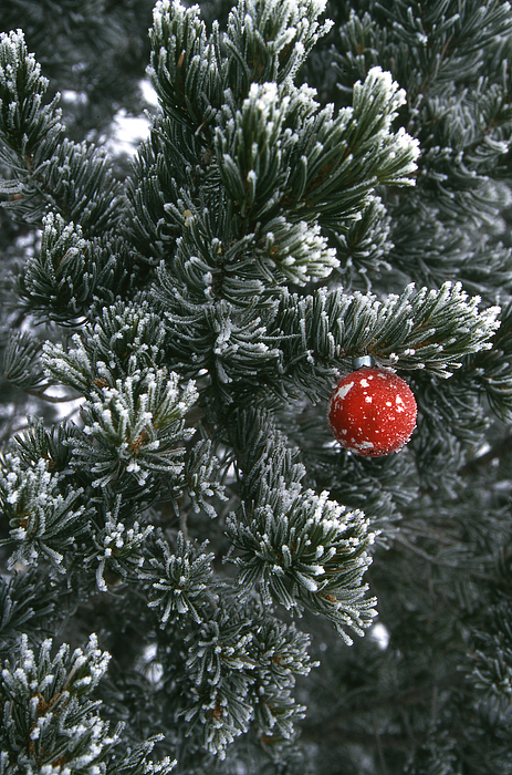 Christmas Photograph - Holiday Ornament Hanging On Snow Dusted by Kate Thompson