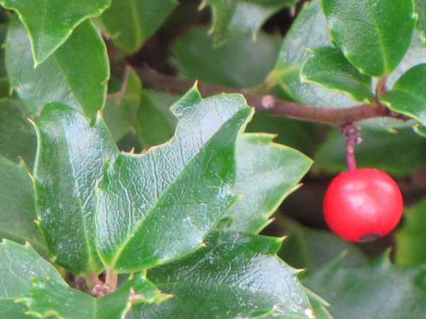 Nature Photograph - Holly Berry by Sylvia Wanty