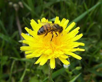 Yellow Flower Photograph - Honeybee On Dandelion by Suzette Eichenberg