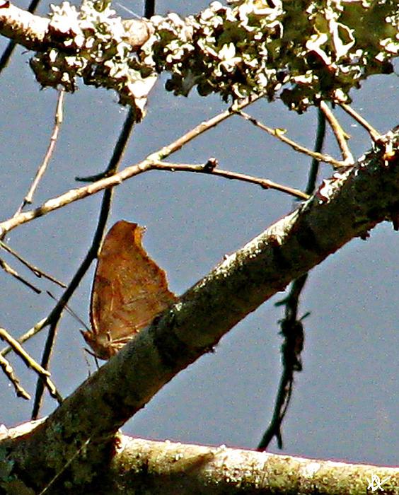 Butterfly Photograph - Hook Winged Butterfly by Debra     Vatalaro