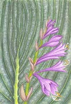 Flower Painting - Hosta by Elizabeth H Tudor