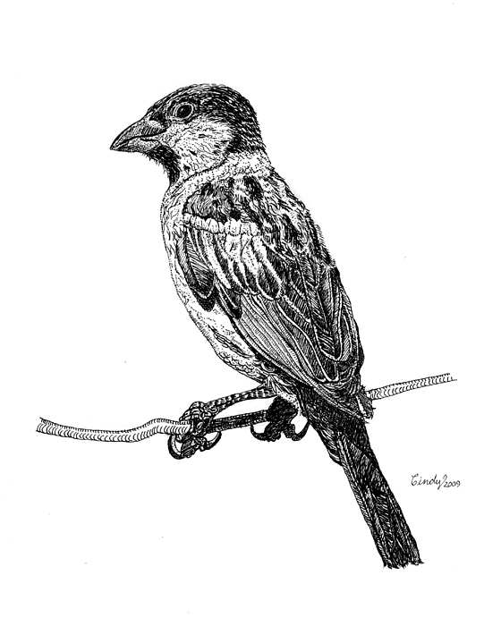 Bird Drawing - House Sparrow by Cynthia  Lanka