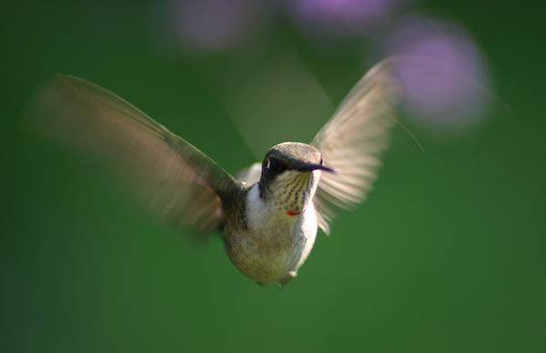 Hummingbird Photograph - Hovering Hummingbird by Robert E Alter Reflections of Infinity