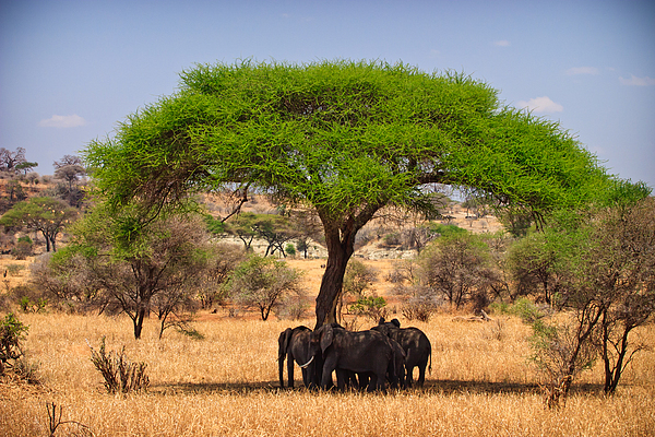 Acacia Photograph - Huddled In Shade by Adam Romanowicz