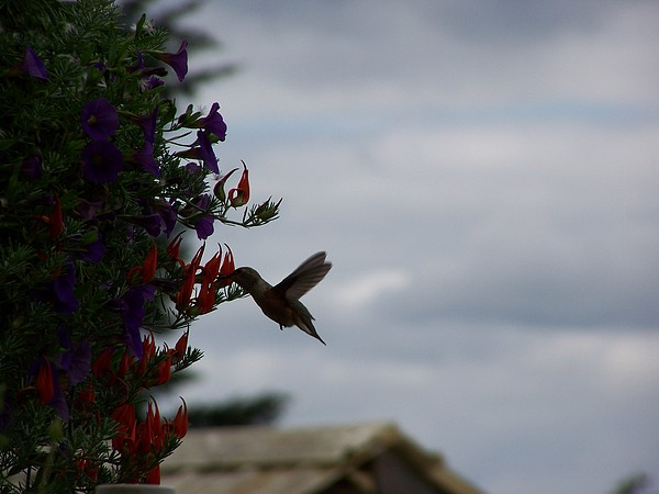 Digital Photography Photograph - Humming Bird In The Parrots Beak by Laurie Kidd