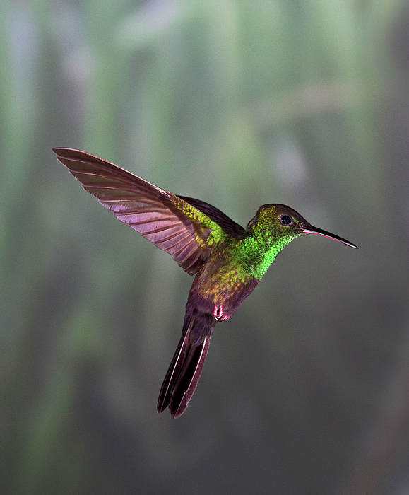 Vertical Photograph - Hummingbird by David Tipling