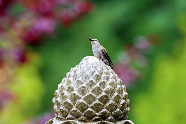Trochilidae Photograph - Hummingbird On Garden Water Fountain by David Gn