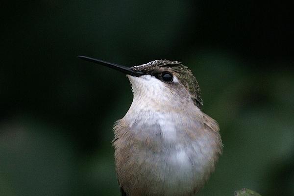 Hummingbird Photograph - Hummingbird Portrait by Alan Skonieczny