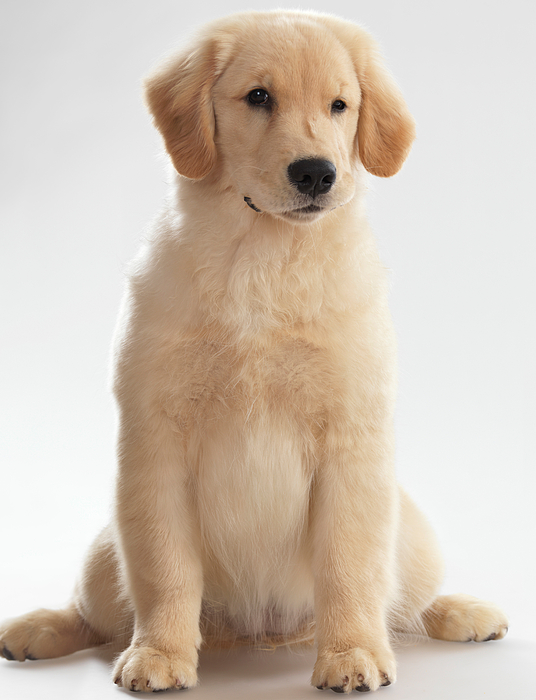 Golden Retriever Photograph - Humorous Photo Of Golden Retriever Puppy by Oleksiy Maksymenko