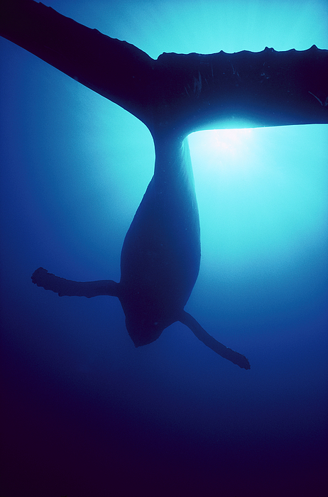 Mp Photograph - Humpback Whale Megaptera Novaeangliae by Flip Nicklin