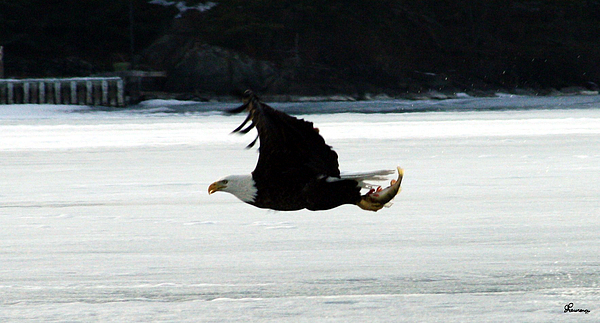 Hungry Eagle Photograph by Andrea Lawrence