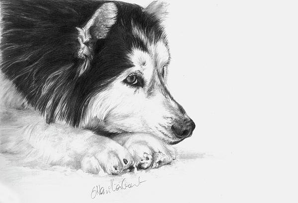 Dog Drawing Drawing - Husky Contemplation by Sheona Hamilton-Grant
