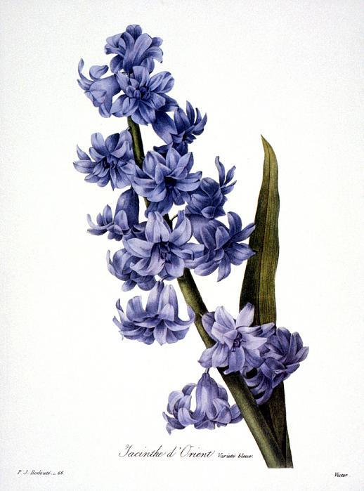 1833 Photograph - Hyacinth by Granger