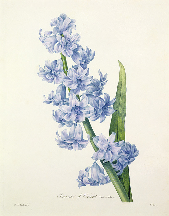 Hyacinthus Drawing - Hyacinth by Pierre Joseph Redoute
