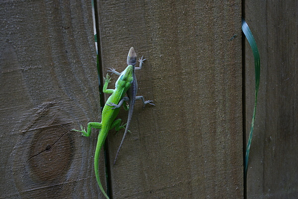 Lizard Photograph - I Caught You by Liliana Andrei