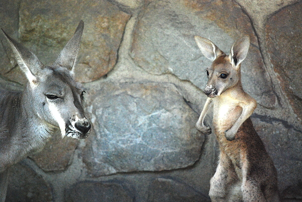 Kangaroo Photograph - I Have Muscles by Kathy Gibbons