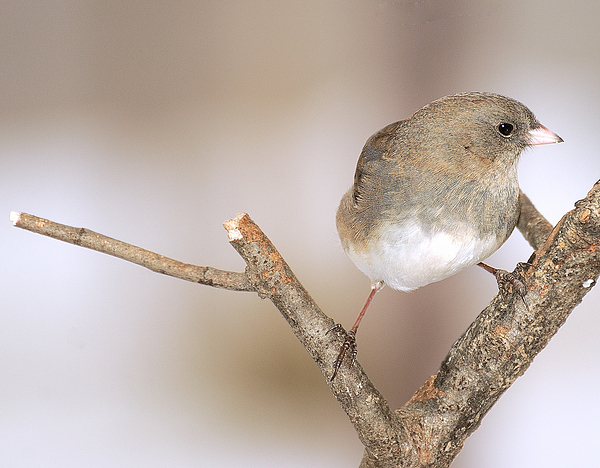 Junco Photograph - I Junco 2 by Richard Oliver