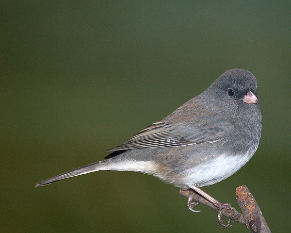Junco Photograph - I Junco by Richard Oliver