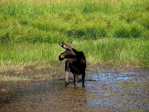 Moose Photograph - I See You by Athena Ellis