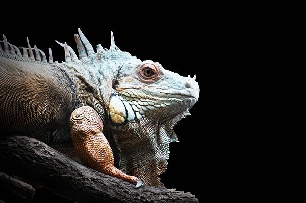 Iguana Photograph - Iguana by Shelly Brock