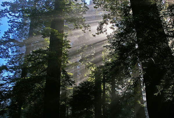 Redwood Photograph - In The California Redwood Forest by Ulrich Burkhalter