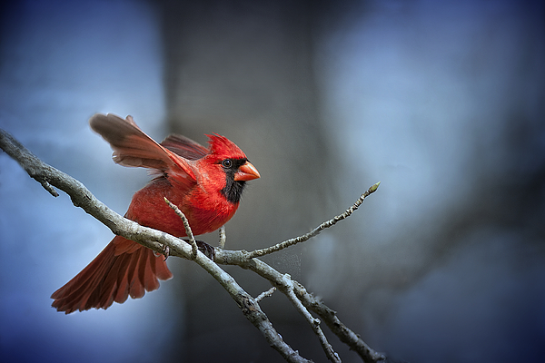 Northern Cardinal Photograph - In The Still Of The Night . . . by Bonnie Barry