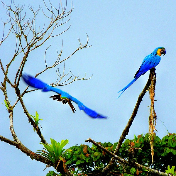 Macaws Photograph - In The Wild by Karen Wiles