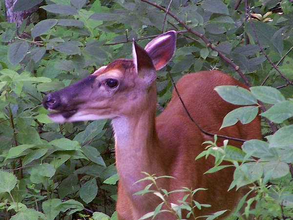 Deer Photograph - In The Woods by Susan Hawk