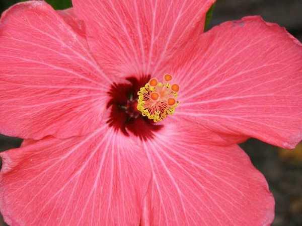 Sandi Floyd - Inside the Hibiscus