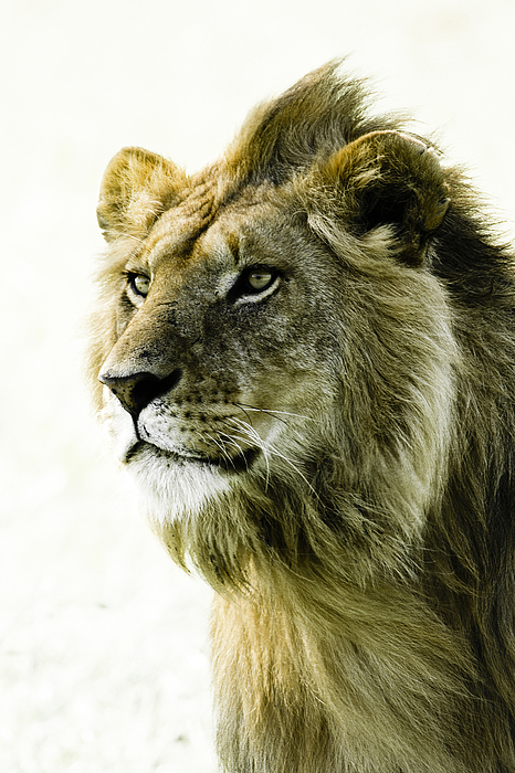 Lion Photograph - Intensity by Michele Burgess