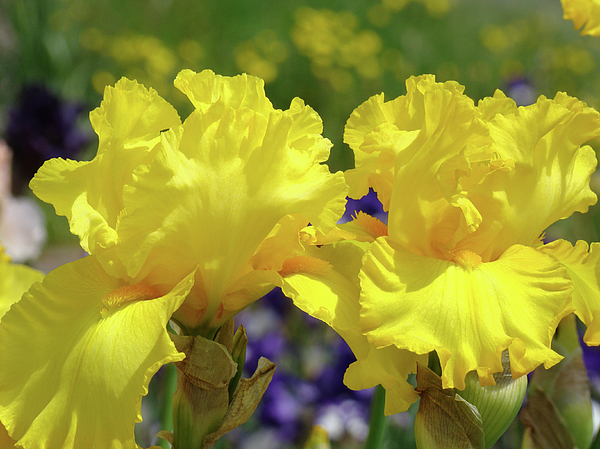 iris flowers garden art yellow irises baslee troutman photograph, Beautiful flower
