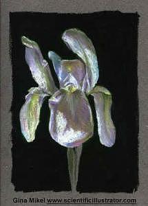 White Drawing - Iris by Gina Mikel