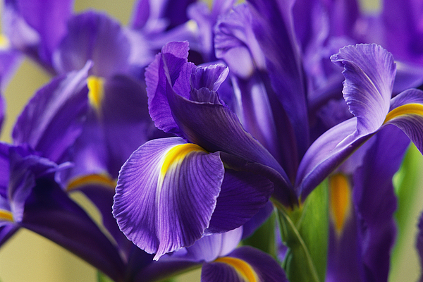 Plants Photograph - Irises, Close View, California by Marc Moritsch