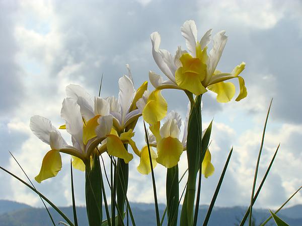 Irises Photograph - Irises Yellow White Iris Flowers Storm Clouds Sky Art Prints Baslee Troutman by Baslee Troutman
