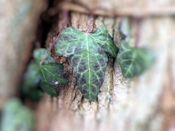 Leaf Photograph - Ivy by PaTer Customs